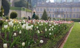 Tulips in the avenue at Dyrham Park